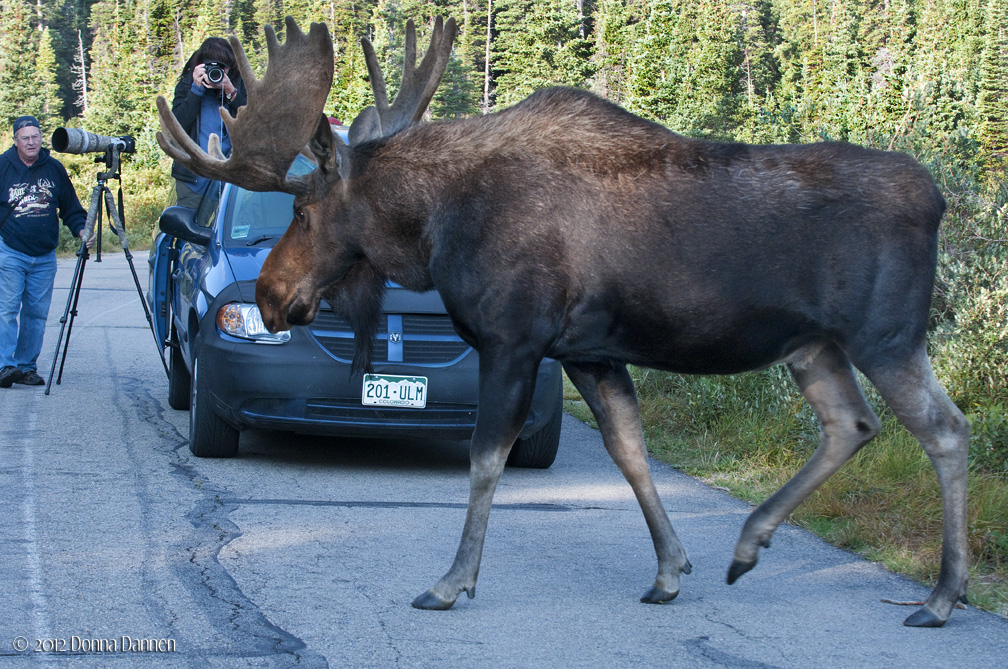 Moose Size Compared To Human