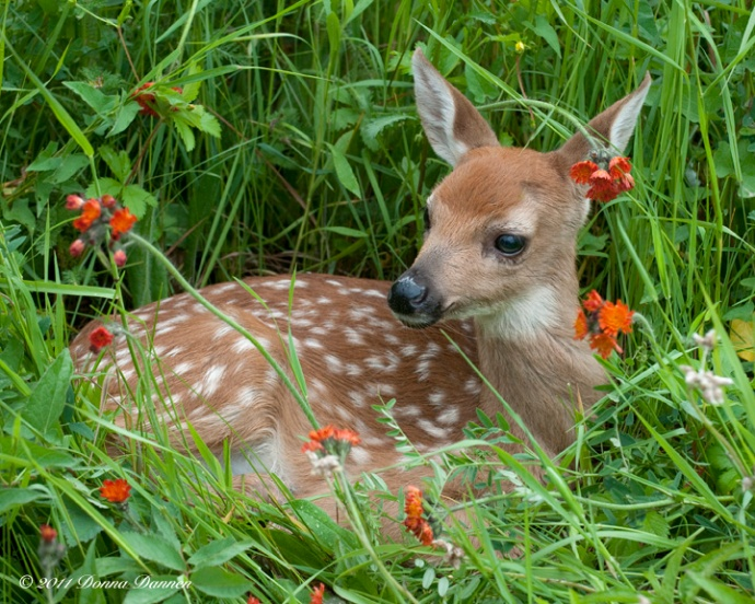 Early morning find...a young deer nestled in tall grass and wildflowers.
