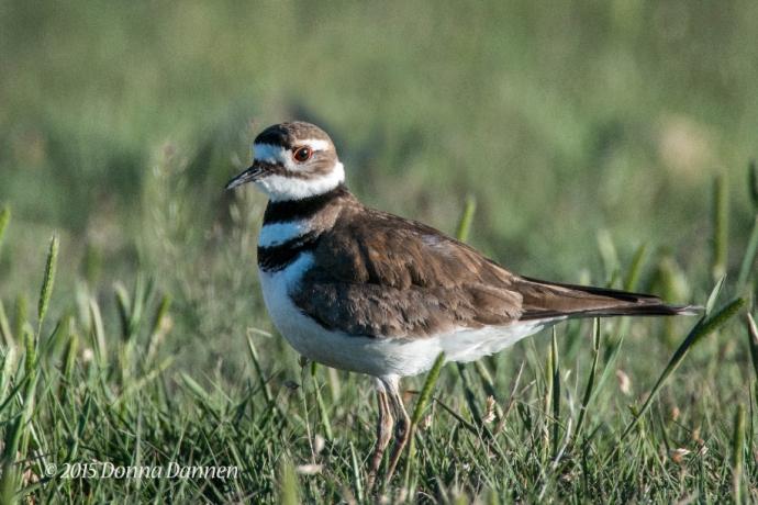 Killdeer: ubiquitous bird of the plains.