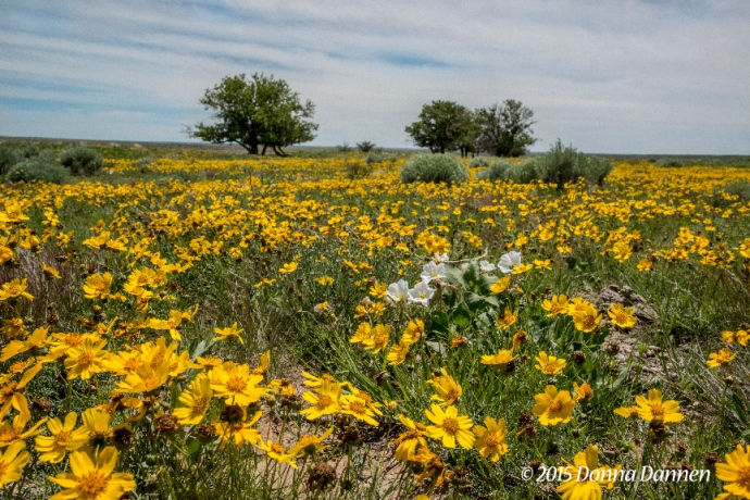 Plains wildflowers in Comanche National Grasslands