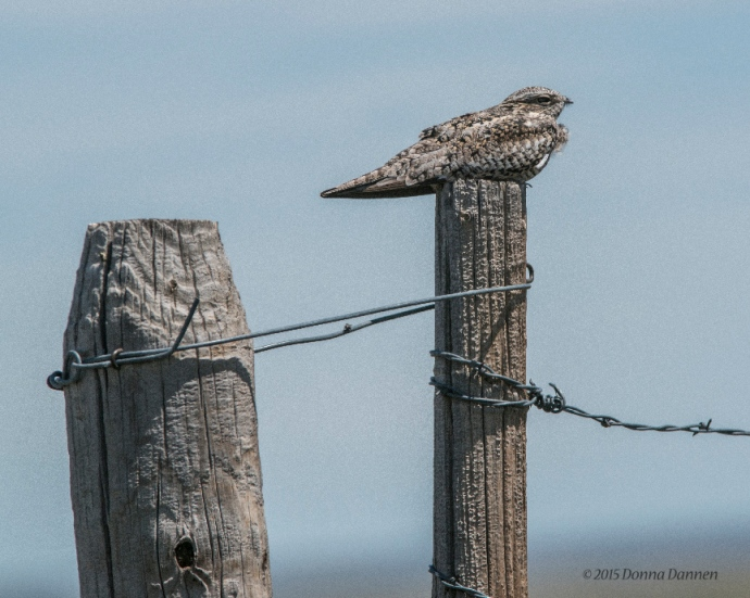 The common nighthawk is often found resting during day on fenceposts